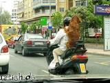 Beifahrer-Hund