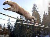 Ski-Eisbär