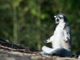 Meditierender Lemur