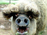 Schwein mit Dauerwelle
