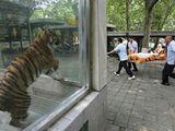 Tiger auf Trage
