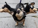 Dreikopfhund