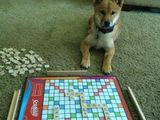Scrabble mit dem Hund