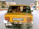 Kuh im Auto