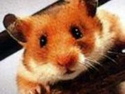 Goldhamster_Lucky