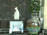 Papagai singt Gangnam Style