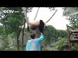 Ängstlicher Panda