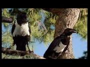 Böse Vögel