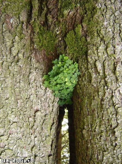 Muschi-Baum