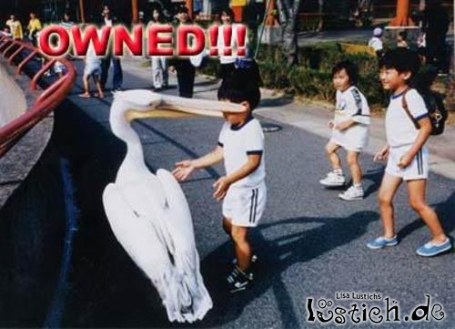 Pelikan beißt Junge