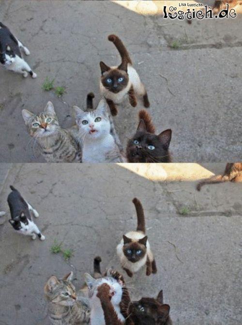 Katzenkrieg