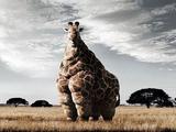 Dicke Giraffe