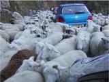 Schafsverkehr