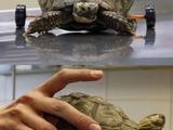 Schildkröte auf Achse