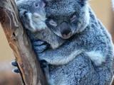 Koalamama